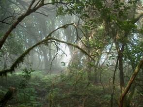 Anaga Nebelwald auf Teneriffa