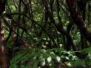 Urwald im Anaga Gebirge