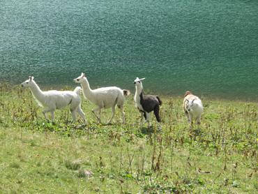 Lamas auf der Traualpe
