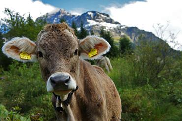 Kuh an der Widdersteinalpe
