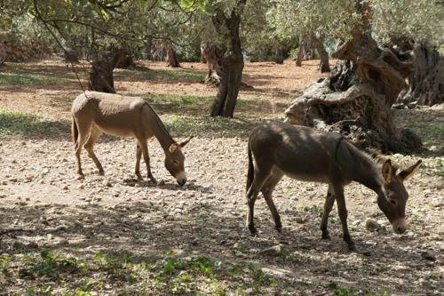 Frei laufende Esel am Kap Foradada