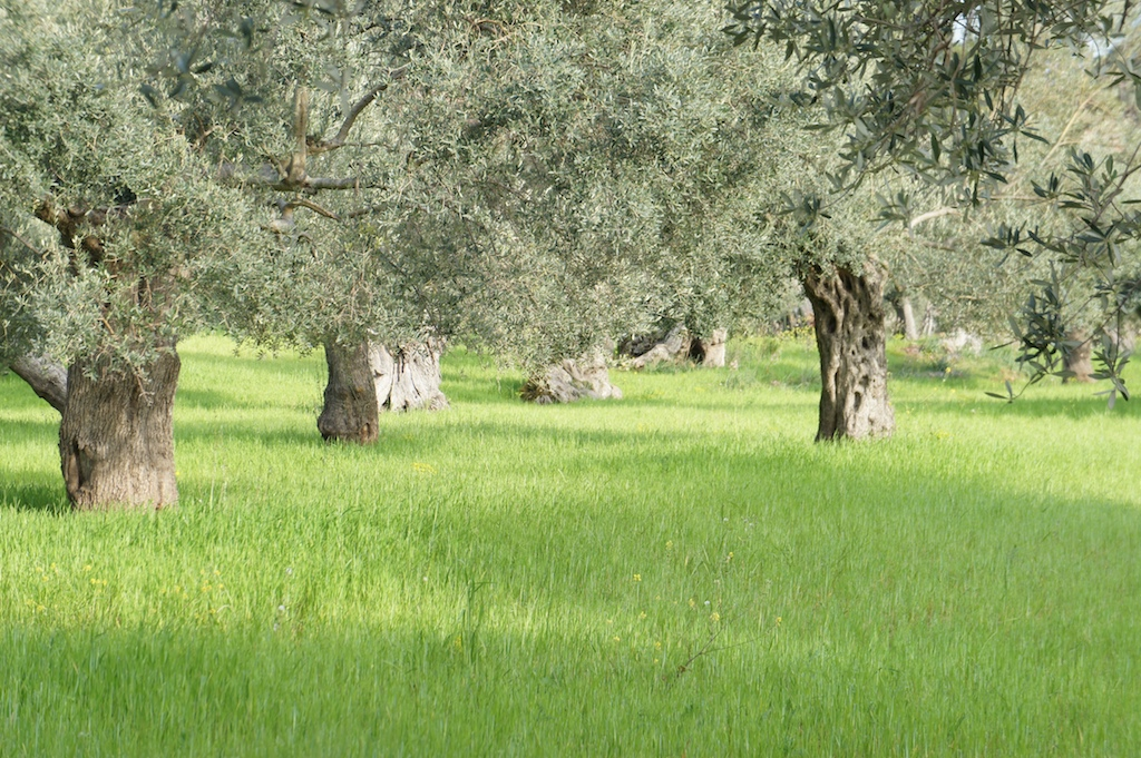 Olivenhain im Tramuntanagebirge